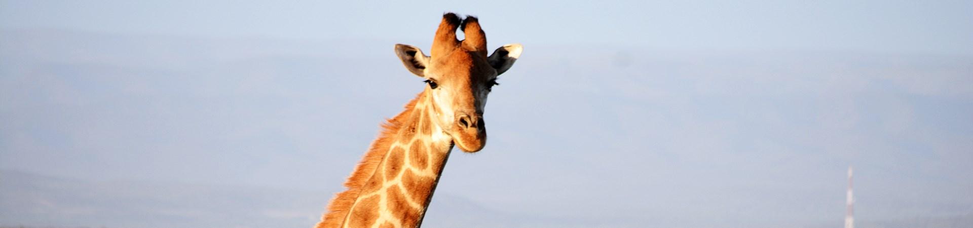 Giraffe at Kududu Game Reserve