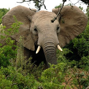Addo Game Drives - Elephants