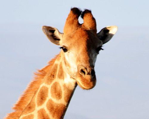 Giraffe - Kududu Guest Farm Game Reserve
