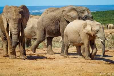 Elephants at Addo Elephant Park